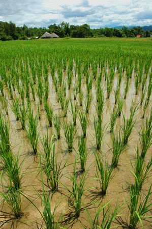 Paddy Rice Field Water Float Stock Photo