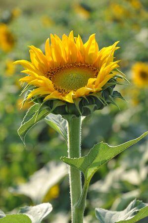 Sunflower Grow Up