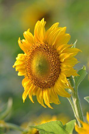 Sunflower Open Slant Stock Photo