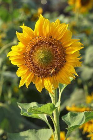 Sunflower Open Vertical Stock Photo