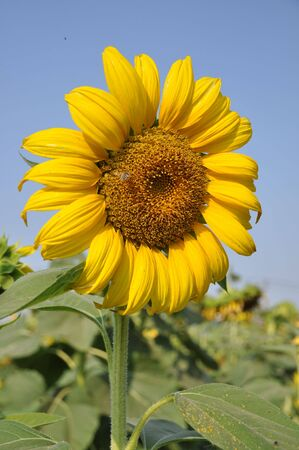 Sunflower Slant Right
