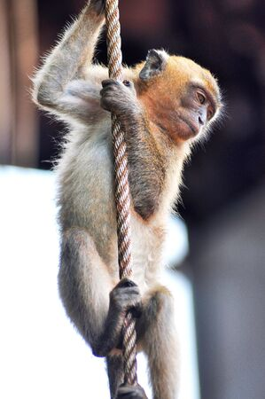Macaque Monkey Hang Rope