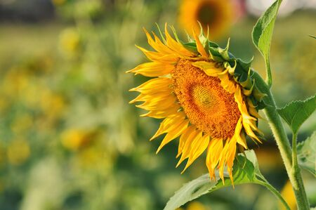 Sunflower Decline Slant Stock Photo - 6876407