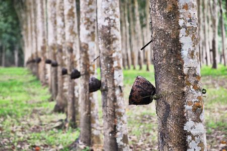 rubber plant: Tree Rubber Cup Line