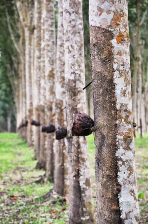 Tree Rubber Cup Tall Stock Photo