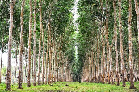Tree Rubber Garden Line photo