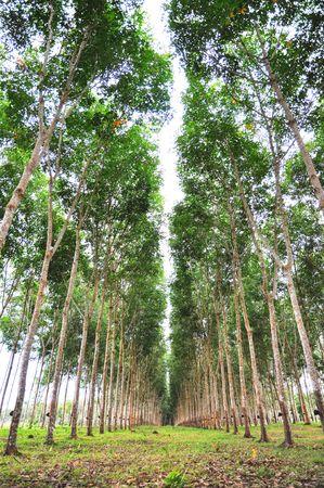 Tree Rubber Garden Tall