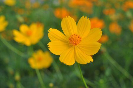 Cosmos Flower Blossom
