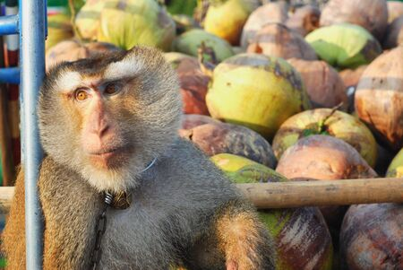 deportment: Macaque Monkey Coconut Absent
