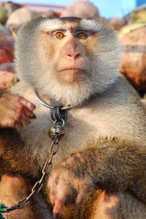 deportment: Macaque Monkey Coconut See Stock Photo