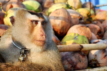 deportment: Monkey Macaque Coconut Absent