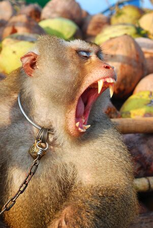 Monkey Macaque Coconut Gape