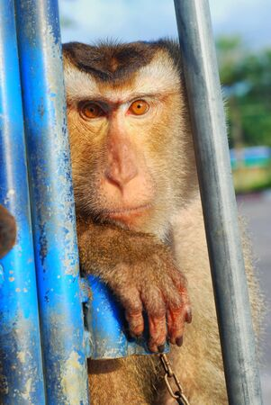deportment: Monkey Macaque Coconut See Stock Photo