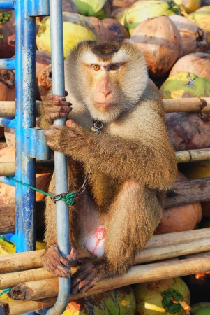 deportment: Monkey Macaque Coconut Sit Stock Photo