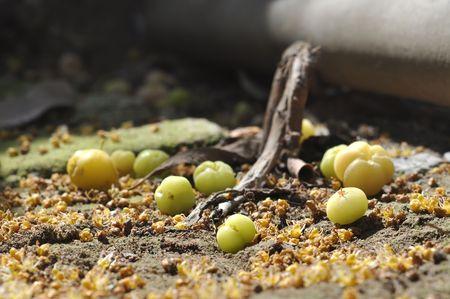 Small Star Gooseberry Fall Ground Stock Photo - 7483399