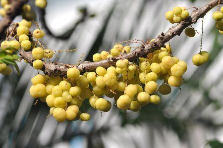 Small Star Gooseberry On Tree Stock Photo - 7483397