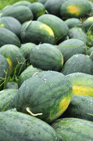 Watermelon Green Group Farm Stock Photo