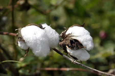 cotton crop: Cotton Plant Outdoor Farm Thailand