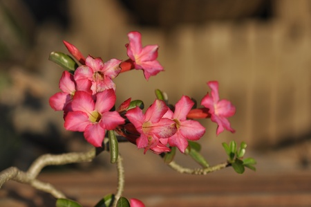 impala lily: Mock Azalea Impala Lily Desert Rose Stock Photo
