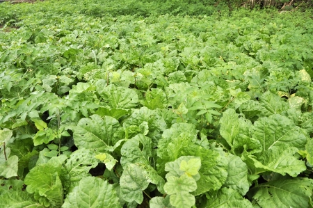 Cabbage Vegetable Field Farm Plant