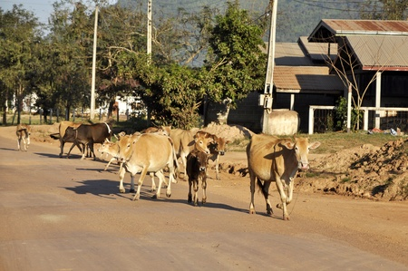 Cow Walk Country Many Outdoor