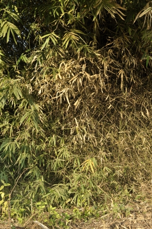 Leaf Bamboo Dry Brown Forest