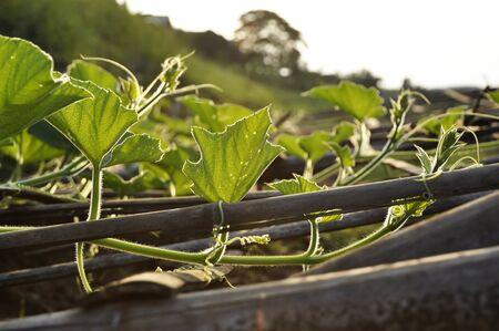 Chayote Vegetable Seedling Plot Farm Stock Photo