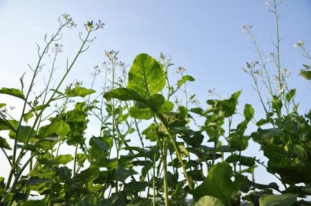 Kale Vegetable Farm Plant Garden Flower Stock Photo - 14538885