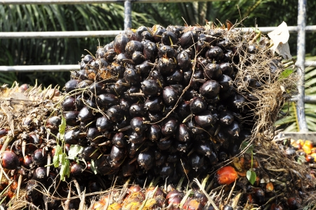 Palm Cluster Seed Fruit Plat photo