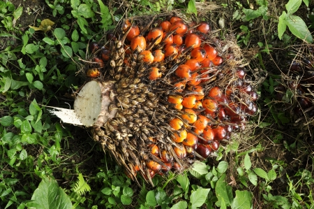 crus: Palm Fruit Plat Seed Cluster