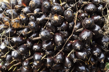 Palm Plat Cluster Fruit Seed