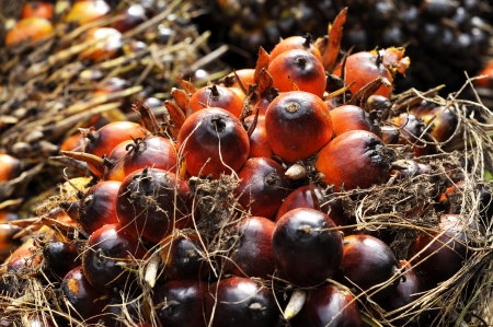 Palm Plat Fruit Seed Cluster Stock Photo - 17245583