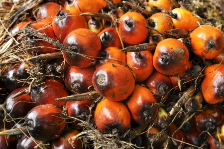 Palm Plat Seed Cluster Fruit photo