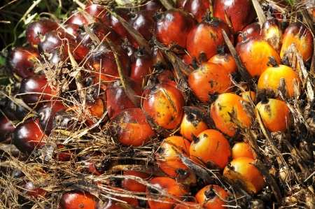 Palm Seed Cluster Fruit Plat Stock Photo - 17245587