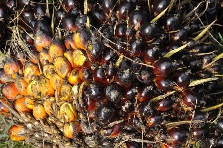 Palm Cluster Fruit Day Plat Seed Stock Photo