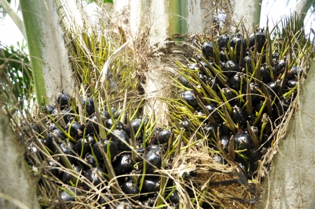 Palm Plat Seed Cluster Fruit Day photo
