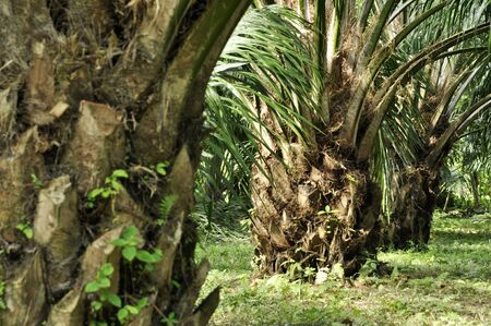 Palm Crop Day Outdoor Farm Stock Photo - 17314795