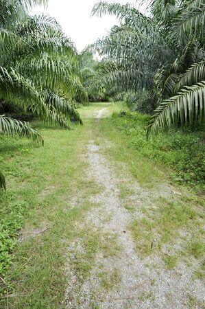 Palm Farm Crop Outdoor Way Stock Photo