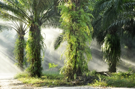 palm fruits: Palm Farm Day Outdoor Fog Light Stock Photo