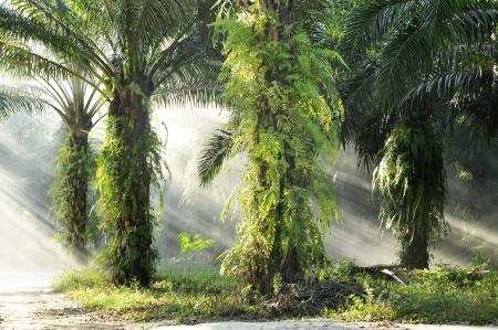 palm oil plantation: Palm Farm Day Outdoor Fog Light Stock Photo