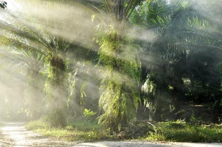 palm oil plantation: Palm Light Farm Day Outdoor Fog Stock Photo