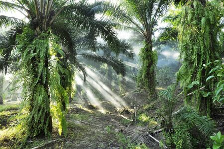 Palm Light Fog Day Outdoor Farm Stock Photo - 17355467