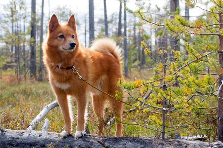 jachthond op het moeras Stockfoto