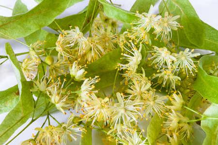 linden flowers: linden flowers on a white background Stock Photo