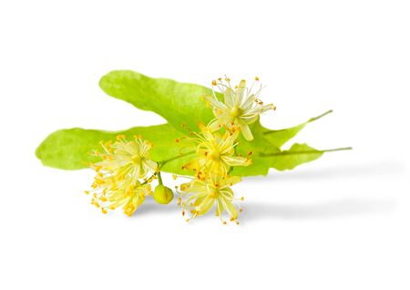 linden flowers on a white background photo