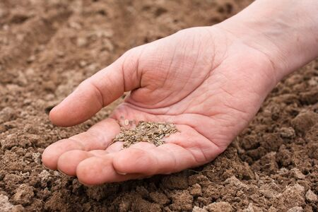 seed bed: dill seeds in hand ready for planting Stock Photo