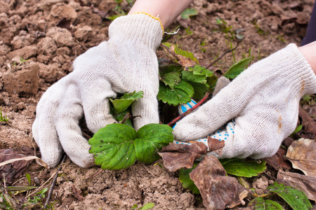 hojas antiguas: manos eliminación de las hojas viejas de las fresas