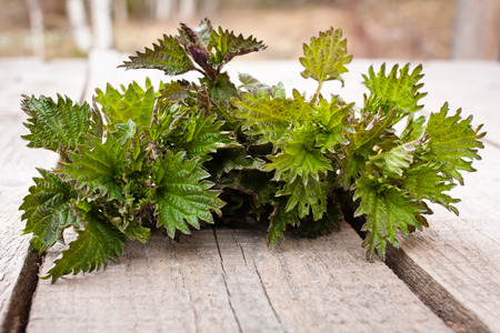stinging: Stinging nettle ( Urtica dioica ) on wooden table Stock Photo