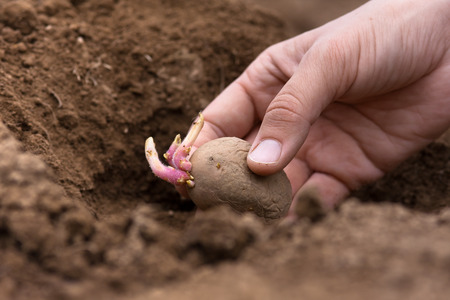 hand planting potato tuber in in the vegetable garden
