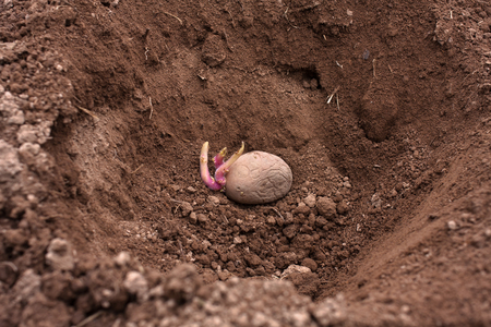 germinating: planting of the germinating potato in the vegetable garden
